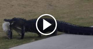 Un caimán se pasea por un campo de golf en la Florida con un gran pescado en la boca