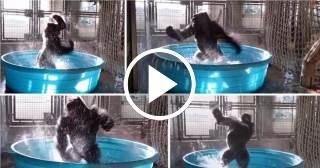 El impresionante baile de un gorila en el agua arrasa en las redes