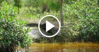 Transmiten en directo el ataque de un caimán a un barco turístico