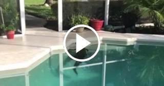 Un residente en Florida encuentra un caimán de siete pies de largo en su piscina
