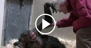 El mágico momento en que una chimpancé a punto de morir reconoce a su viejo amigo Jan