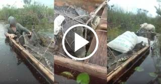 Caza furtiva de cocodrilos cubanos, una especie en peligro de extinción
