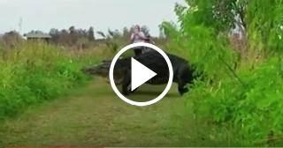 Vídeo de un enorme cocodrilo enFlorida se vuelve viral