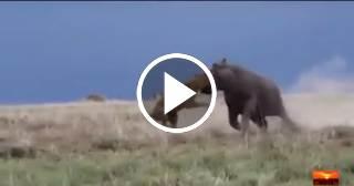Una leona se lleva el susto de su vida al intentar cazar a un hipopótamo