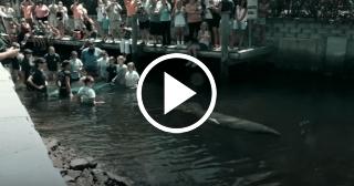 Rehabilitación de Manatíes de Florida golpeados por embarcaciones