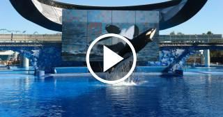 Takara, la orca estrella en SeaWorld, dará a luz a la última criatura nacida en cautiverio