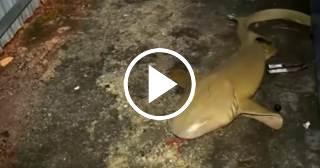 Aparecen dos tiburones en el patio de una casa en Miami