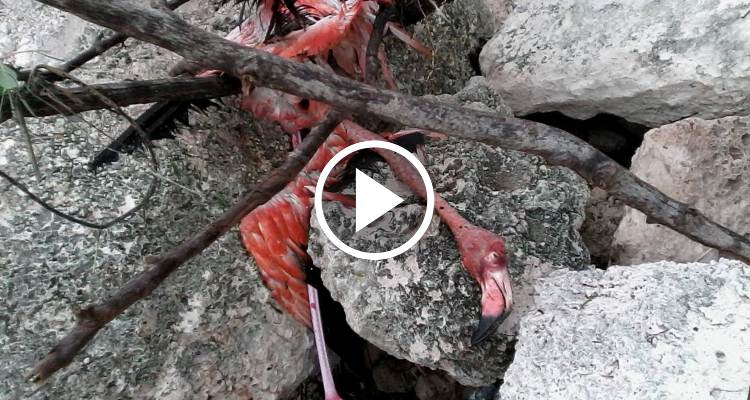 Cientos de flamencos muertos en Cayo Coco por el huracán Irma