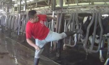 Publican nuevas imágenes del maltrato a vacas en una productora lechera de Florida (+VIDEO)